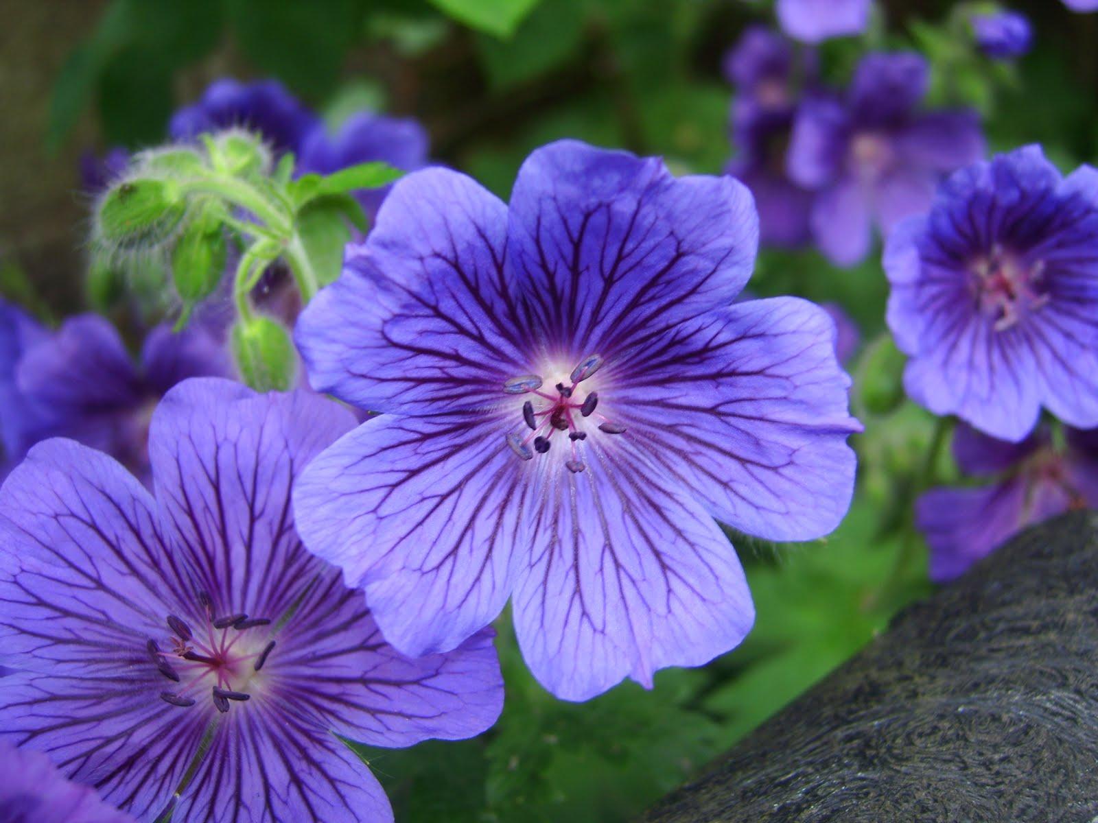 hoa phong lu